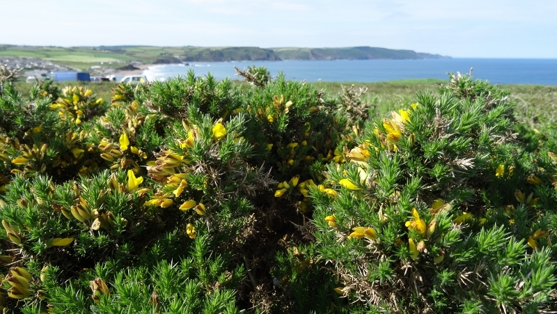 gorse bushes on the cliff edge Widemouth Bay